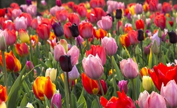 Tulipány a květy jara